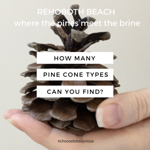 rbsh-pinecones