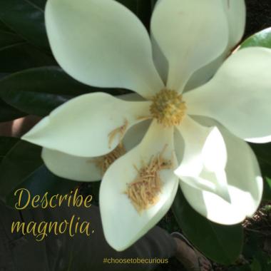 Describe magnolia